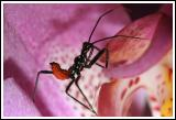 Gonzo the Orchid Guard (Assassin Bug)