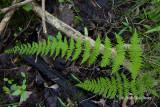 Bulblet Fern (Cystopteris bulbifera)