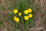 Common Dandelion (Taraxacum officinale)