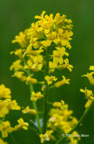 Common Winter Cress (Barbarea vulgaris)