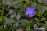 Periwinkle (Vinca minor - Apocynaceae)