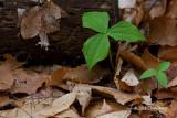 Purple Trillium leaves (Trillium erectum)