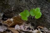 Round-lobed Hepatica leaves (Hepatica nobilis)