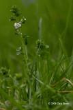 Thyme-leaved Speedwell (Veronica serpyllifolia)