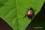Beetles (Coleoptera)