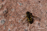 Flies (Diptera)