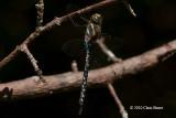 Darners (Aeshnidae)