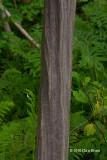 Blue-Beech trunk
