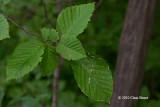 Blue-Beech leaves