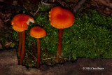 Possibly Hygrocybe sp.