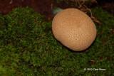 Earth Ball (Scleroderma citrinum)