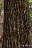 Butternut trunk (Juglans cinerea)