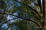 Big Old Cottonwood
