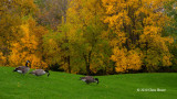 Grazing Canada Geese