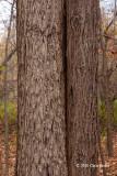 Butternut trunks