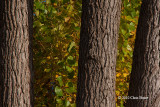 Fall Cottonwood II