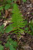 New York Fern (Thelypteris noveboracensis)