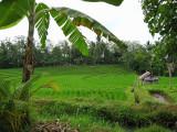 Rice Terraces in Pupuan