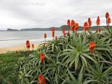 Aloe Flowering