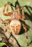 Cross Orbweaver Spider dorsal