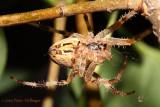 Cross Orbweaver Spider ventral