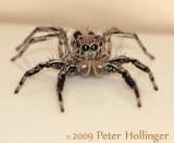 Javanese Jumping Spider