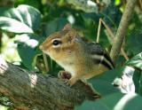 Chipmunk on Lilac
