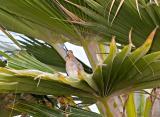 Zebra Dove (Geopelia striata) in Palm