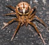 Spider on Compost Lid