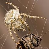 Orb Weaver Spider with Beetle