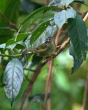 Three-striped Warbler