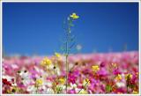 Dapingding  Flower Fields ¤j©W³»ªá¥Ð