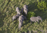 Elephants gathering in around young as seen from the balloon