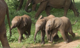 Young elephants try to keep up