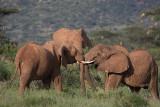 Young elephants fighting