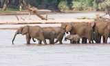 Elephants crossing river and drinking including babies