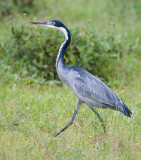 2.Black-headed Heron walk