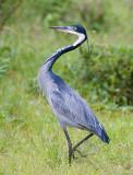 3.Black-headed Heron walk