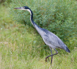 4,Black-headed Heron walk