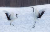 Japanese Red-crowned Cranes Dancing