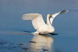 1.Whooper Swan landing