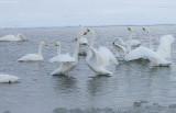 1.Swan fight between 2 groups