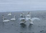 4,Swan fight between 2 groups