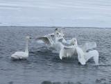 5.Swan fight between 2 groups