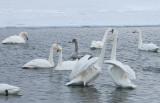 3.Swan fight between 2 groups