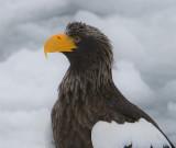 Steller'sSea Eagle