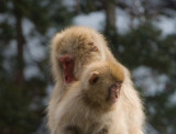 Snow Monkeys from our room