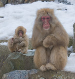 Young and old Snow Monkeys