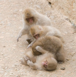 Snow Monkeys playing