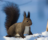 Japanese Red Squirrel